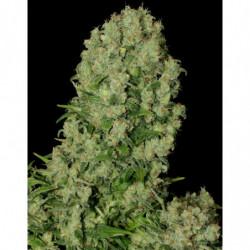 Bud Factor X 10 L
