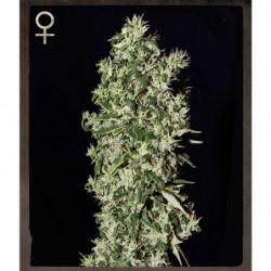 Nirvana 10 L