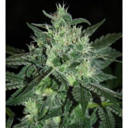 Sensi Bloom A 1 L
