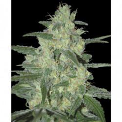 Sensi Bloom A 4 L