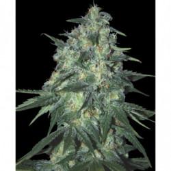 Sensi Bloom B 10 L