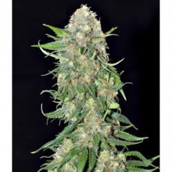 Sensi Bloom A 500 ml