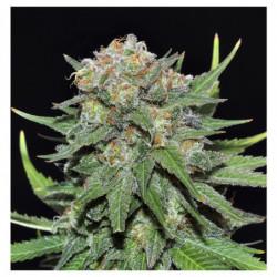Sensi Grow B 4 L
