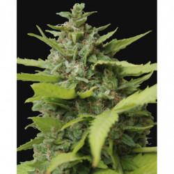 Sensi Grow B 10 L