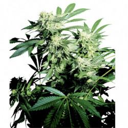 Big Bud Coco Liquid 1 L