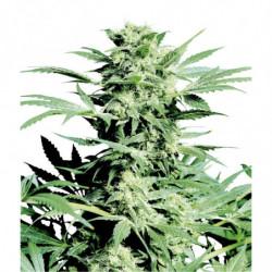 Big Bud Coco Liquid 10 L