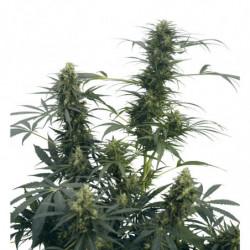 Root Stimulator 500 ml