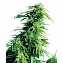 Coco Bloom Stimulator 500 ml