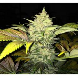 BN X-Cel 250 ml