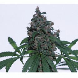 Coco Forte B 1 L