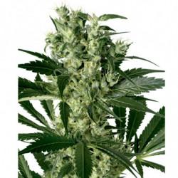 Rhizotonic 0,25L