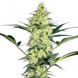 Rhizotonic 0,5L