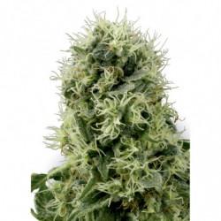 Rhizotonic 1L