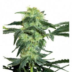 Rhizotonic 5L