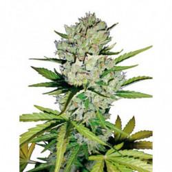 Coco A 10L