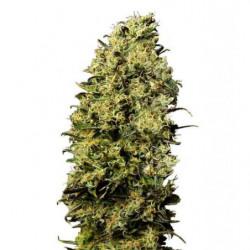 Great White® Micorrizas...