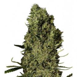 Great White® Granular 1 113g