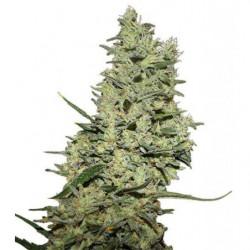 Rootstimulator Hydro 5L
