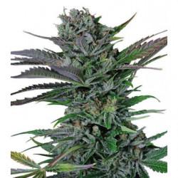 SeedBox Collection Solanáceas