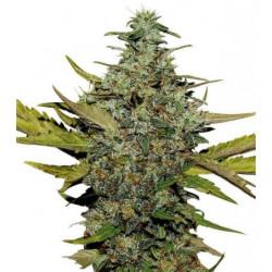 SeedBox Cultívame Oregano